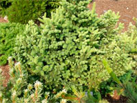Abies balsamea 'Bear Swamp'