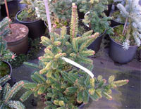 Abies balsamea 'KBN Variegated'