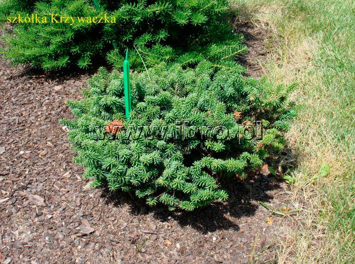 Хвойные деревья и растения pinuslibrary ru