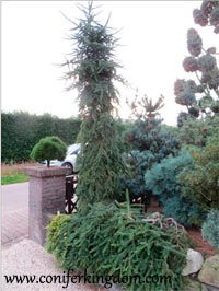Abies balsamea 'Weeping Larry'
