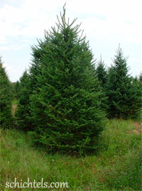 Abies balsamea var. phanerolepis