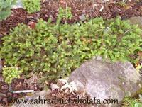 Abies cilicica 'Kostelec'