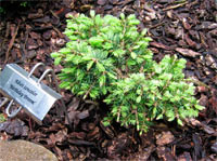 Abies concolor 'Birthday Broom'