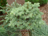 Abies concolor 'Blue Saphire'