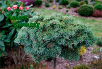 Abies concolor 'Breburda'