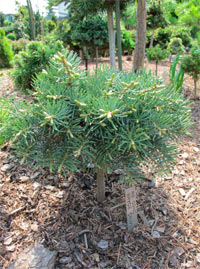 Abies concolor 'Bruce Canyon'