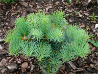 Abies concolor 'Fresh'