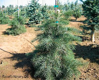 Abies concolor 'Goebles Weeping'
