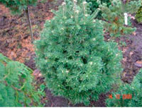 Abies concolor 'Green Globe'