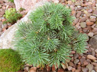 Abies concolor 'Hosta La Vista' (HLG WB)