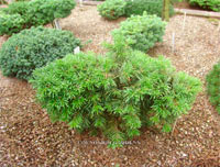 Abies concolor 'Igel'