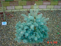 Abies concolor Jacobsen'