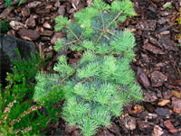 Abies concolor 'La Veta'