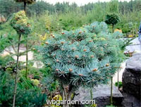 Abies concolor 'Malik'