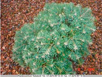 Abies concolor 'Masonic Broom'