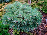 Abies concolor 'Mike Stern'