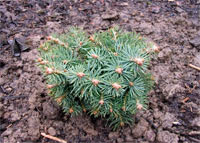Abies concolor 'Minima'