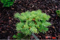 Abies concolor 'Mora'