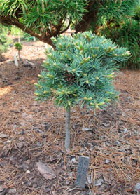 Abies concolor 'Morton Broom'