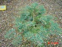 Abies concolor 'Ostrov'