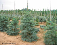 Abies concolor 'Select'