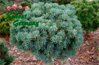 Abies concolor 'Sourek'