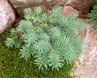 Abies concolor 'Stanwood'