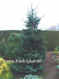 Abies delavayi 'Green Giant'