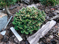 Abies fraseri 'Brandon Recker'