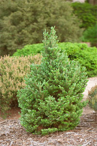 Abies fraseri 'Franklin'