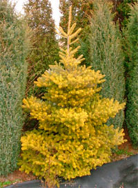 Abies koreana 'Beskid Gold'