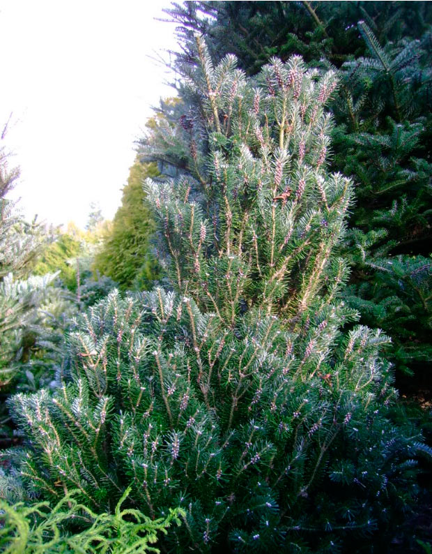 Abies Koreana Fastigiata хвойные деревья и растения Pinuslibraryru