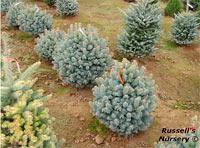 Abies lasiocarpa 'Arizonica Glauca Compacta'