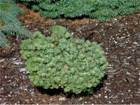 Abies lasiocarpa 'Utah'