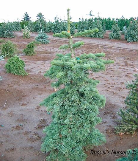 Abies Magnifica Nana хвойные деревья и растения Pinuslibraryru