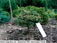 Abies magnifica var. shastensis 'Hexenbesen'