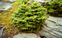 Abies nordmanniana 'KBNG WB'