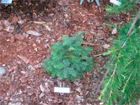 Abies procera 'Hupp's Weeping'