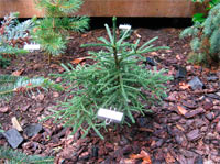 Abies procera 'Rat Tail'