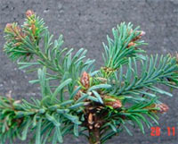 Abies procera 'Seattle Mountain'