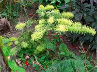Abies procera 'Sherwoodii' (A. procera 'Aurea')