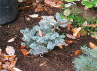 Abies procera 'Silver'