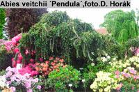Abies veitchi 'Pendula'