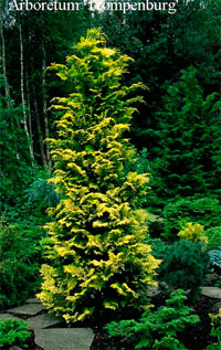 Chamaecyparis obtusa 'Goldilocks'