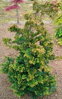 Chamaecyparis obtusa 'Wells Special'