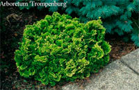 Chamaecyparis obtusa 'Yellowtip'