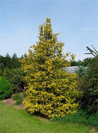 Chamaecyparis pisifera 'Aurea'