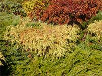 Chamaecyparis pisifera 'Filifera Aurea Nana'