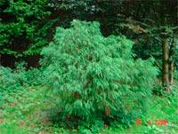 Chamaecyparis pisifera 'Filifera Globosa'