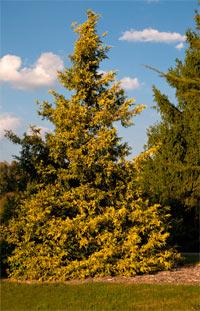 Chamaecyparis pisifera 'Gold Spangles'